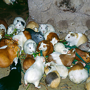 "Cuy (guinea pigs) feast on greens in a home in Peru. Cuy is the animal and meat of a guinea pig in the Andean regions of South America and is a traditional food of Peruvian, Colombian, and Ecuadorian Andean people. Cuy (Scientific classification Cavia porcellus) are a domesticated species of rodent belonging to the family Caviidae and the genus Cavia. Guinea pigs do not exist naturally in the wild and were likely domesticated as early as 5000 BC from the wild species Cavia tschudii native to the Andes. European traders spread the pet to Europe in the 1500s. Use as a model organism in the 1800s and 1900s originated the epithet ""guinea pig"" for a test subject. These animals are not in the pig family, nor are they from Guinea."