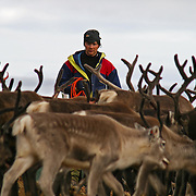 Reindeer slaghtering by the sami group of Saanti Sijte/Essand in the mountains of Mid-Norway.