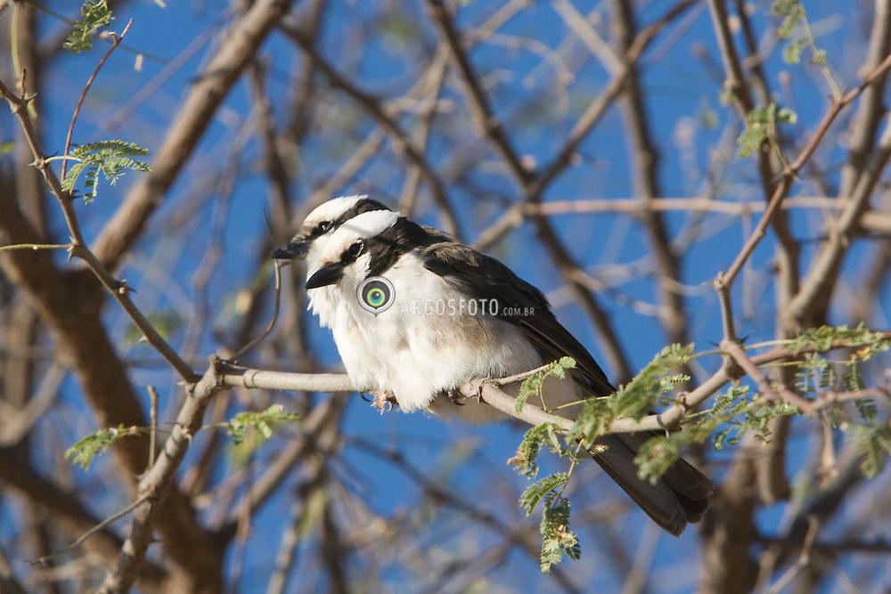 Birds of Samburu National Reserve in Kenya; Africa. Eurocephalus rueppellii  / Eurocephalus rueppellii, fotografado na Reserva Samburu,  um dos grandes parques nacionais do Quenia, na Africa. Importante refugio de vida selvagem.