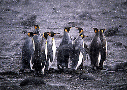 Antartica.O pinguim-rei (Aptenodytes patagonicus), especie de pinguins de aproximadamente 90 cm de altura, e que pesa de 11 a 15 quilogramas.Habita a Antartica, na zona dos ventos do Oeste..The King Penguin is the second largest species of penguin at about 90 cm (3 ft) tall and weighing 11 to 15 kg (24 to 33 lb), second only to the Emperor Penguin. There is a world population of approximately four million King Penguins, divided into two subspecies (A. p. patagonicus and A. p. halli). These populations are thought to be on the increase..King penguins eat small fish, mainly lanternfish, and squid and rely less than most Southern Ocean predators on krill and other crustaceans. On foraging trips they repeatedly dive to over 100 metres (350 feet), often over 200 metres (700 feet). This is far deeper than other penguins, other than their closest relative, the larger Emperor penguin..King Penguins live on the subantarctic islands at the northern reaches of Antarctica, as well as Tierra del Fuego, the Falkland Islands, and other temperate islands of the region..Foto: Christiana Carvalho/Argosfoto