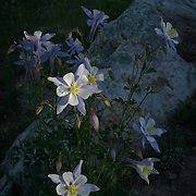Columbine, spotlight at sunset