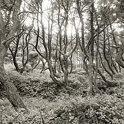Twisted Pine Forest.  Seal Rock, near Newport, Oregon