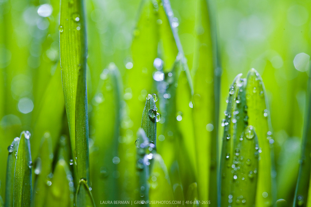 Closeup of drops of water on bright green grass.