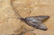 Fishfly (Neohermes concolor) - male<br /> ARKANSAS: Polk Co.<br /> Ouachita National Forest; Rich Mountain off Hwy 18<br /> 1-3.July.2015<br /> J.C. Abbott #2762 &amp; K.K. Abbott