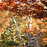Sika deer photographed in autumn against a maple tree in the historical city of Nara in Japan.