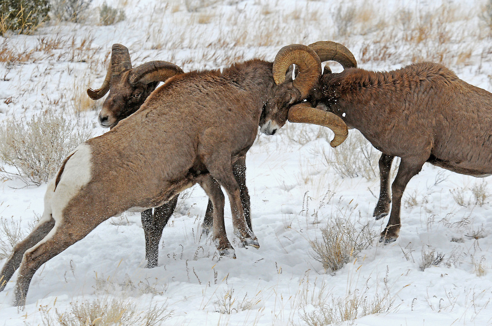 A loud crack can be heard as their foreheads slam together. After impact, rams often pause for a moment to regain their footing and reposition themselves.