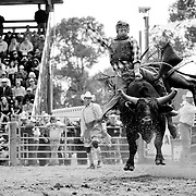 All eyes on him, a bull rider hangs on after the gate is opened.<br /> Augusta Rodeo 2011.