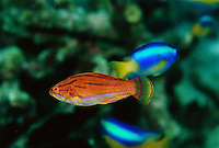 A male yellow-fin flasher wrasse (Paracheilinus flavianalis) not displaying, with fins down.  (See image MM7148_0021 for same fish in display colors).