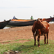 Fishermen come in for the day after a morning of work on Lake Victoria. Here in Ggaba, a small town in southern Uganda that almost entirely subsists on the fishing industry, the locals have contributed to the dangerous overfishing of the lake despite strict regulations from Tanzania, Uganda, and Kenya. Fishermen continue to keep fish that are far below the required minimum weight and employ dymanite and poison.