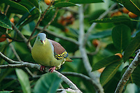 A male thick-billed green-pigeon sitting in a strangler fig tree.