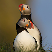 Two Atlantic puffins (Fratercula arctica) share a ledge on the bird cliff at Látrabjarg, Iceland. Atlantic puffins spend most of their lives at sea, but nest on the coasts of Iceland, Greenland, the Faroe Islands, the British Isles, Norway, Atlantic Canada, and northern Europe.
