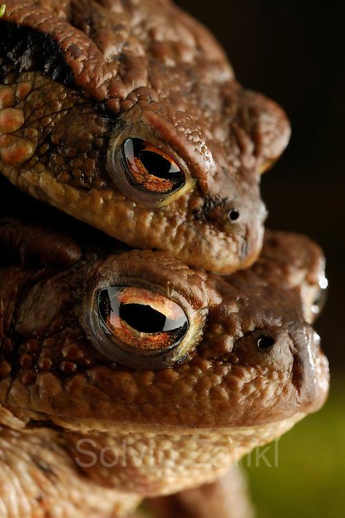 Common toad (Bufo bufo)   Erkröten-Paar (Bufo bufo) auf der Wanderung zum Laichgewässer