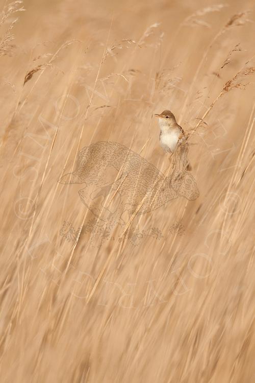 Eurasian Reed-warbler (Acrocephalus scirpaceus) adult singing in reed bed, Norfolk, UK.