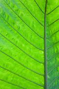 Detail of leaf structure, Sepilok, Sabah