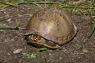 Three-toed Box Turtle (Terrapene carolina triunguis)<br /> 'TEXAS: Lamar Co.<br /> Camp Maxey; near Powderly<br /> N33.7772 W95.53522<br /> 27-30.May.2009<br /> J.C. Abbott #2393
