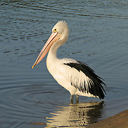 """A black and white Australian Pelican reflects in the water at  Coalmine Beach, Walpole-Nornalup National Park, Western Australia. Published in the book """"Pelican in the Wilderness"""" 2008 by Ivan Clutterbuck,. Gracewing Publishing Ltd, UK."""