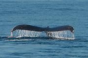 Humpback whale fluke Santa Cruz Island, CA