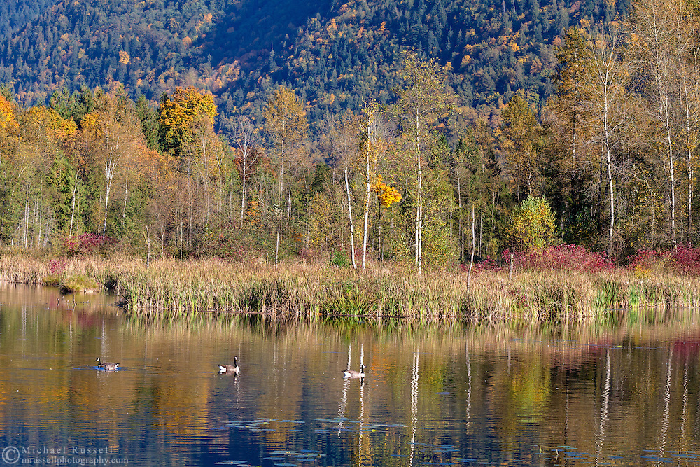 Fall foliage and Canada Geese (Branta canadensis) at Cheam Lake Wetlands Regional Park in Popkum, British Columbia, Canada.