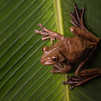 Amazon Gladiator Frog, Hypsiboas boans, in Cocobolo Nature Reserve, Panama.