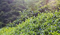 Tea plantation in the hills of Sri Lanka