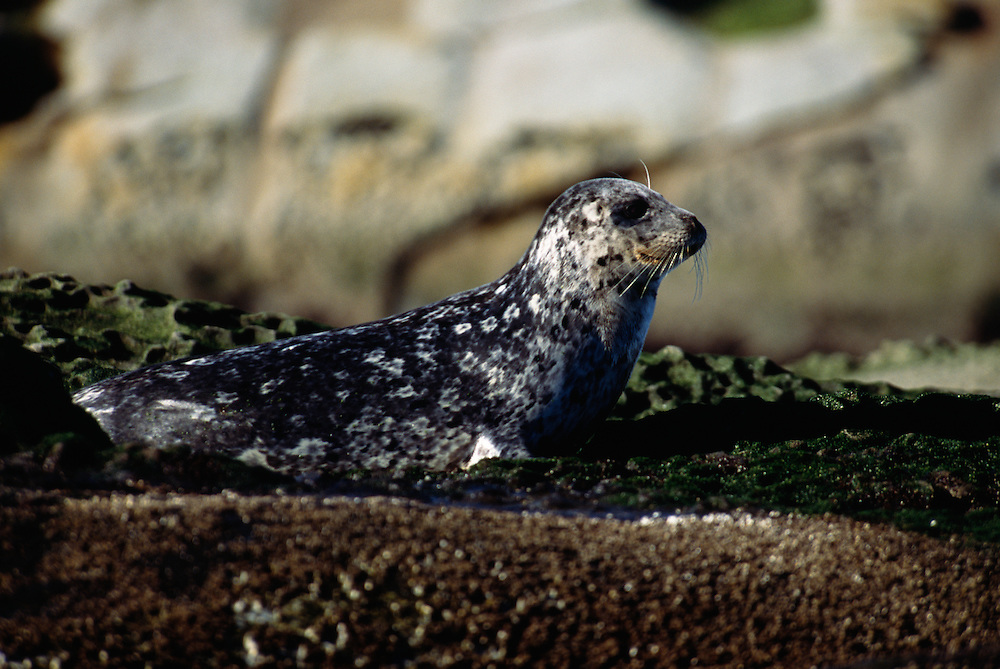 Harbor Seal lying on rock