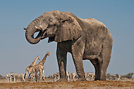 Elephant bull at waterhole, Loxodonta africana, with giraffes and zebras, Etosha National Park, Namibia