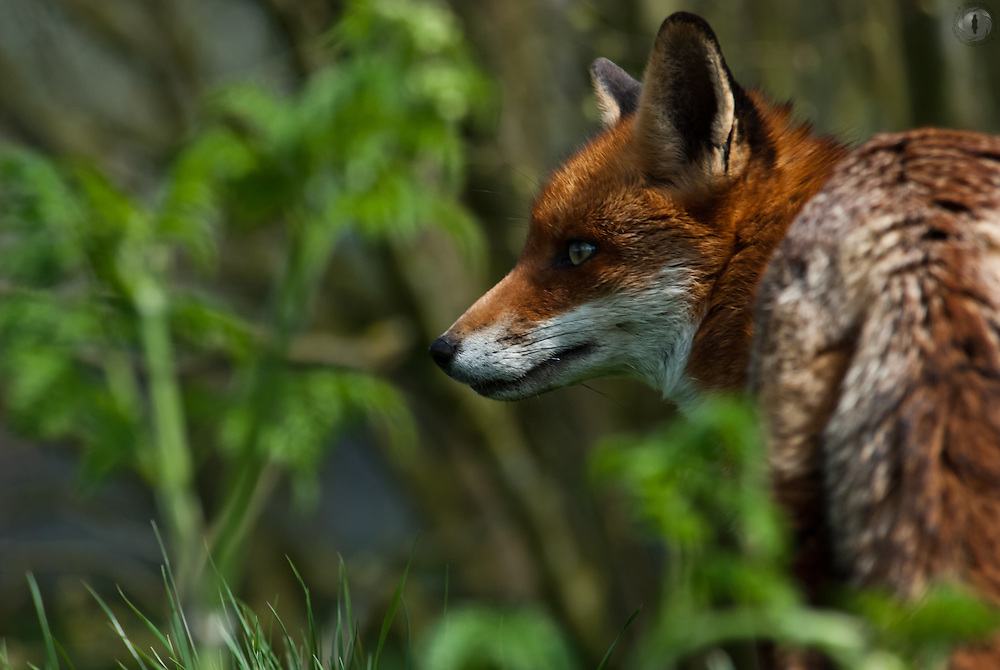 Red Fox in profile at the British Wildlife Centre in Surrey