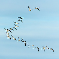 Canada, Nunavut Territory, Flock of Snow Geese (Chen caerulescens) migrating south from Arctic Circle above Repulse Bay