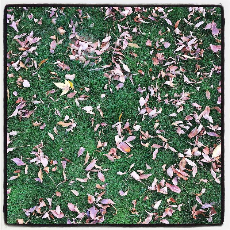 2016 SEPTEMBER 09 - Fallen autumn leaves on a green grass lawn in Puyallup, WA, USA. Taken with Instagram App on iPhone. By Richard Walker