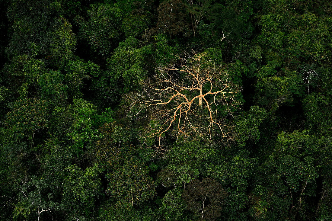 A dead tree protrudes through the jungle canopy on the Mosquito Coast of Honduras. — © /