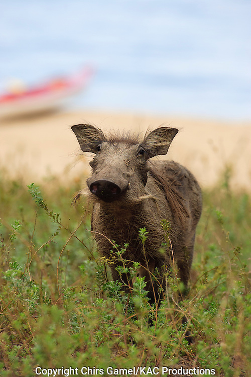 Juvenile warthog standing in the grass with kayak in the background.