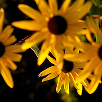 Black eyed Susans growing on a Waushara County farm.