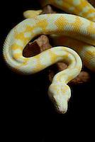 Albino Darwin Carpet Python (Morelia spilota variegata) on black