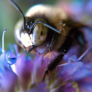 Macro photo of a bee made with cell phone camera October 21, 2010, in Washington, DC...Photo by Khue Bui