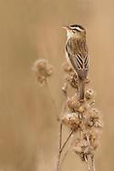 Sedge Warbler (Acrocephalus schoenobaenus) adult calling from perch in reedbed, Norfolk, UK.
