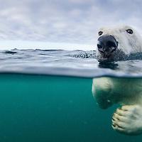 Canada, Nunavut Territory, Repulse Bay,Underwater view of Polar Bear (Ursus maritimus) swimming near Harbour Islands in Hudson Bay
