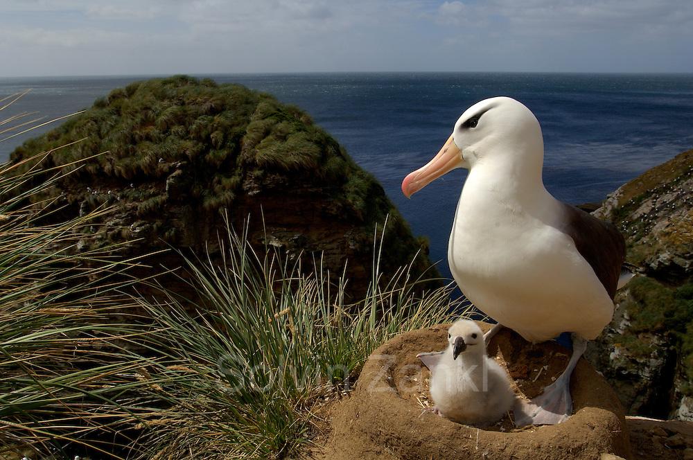 Black browed albatross  (Diomedea melanophris) [size of single organism: 80 cm] | Schwarzbrauenalbatros (Diomedea melanophris)