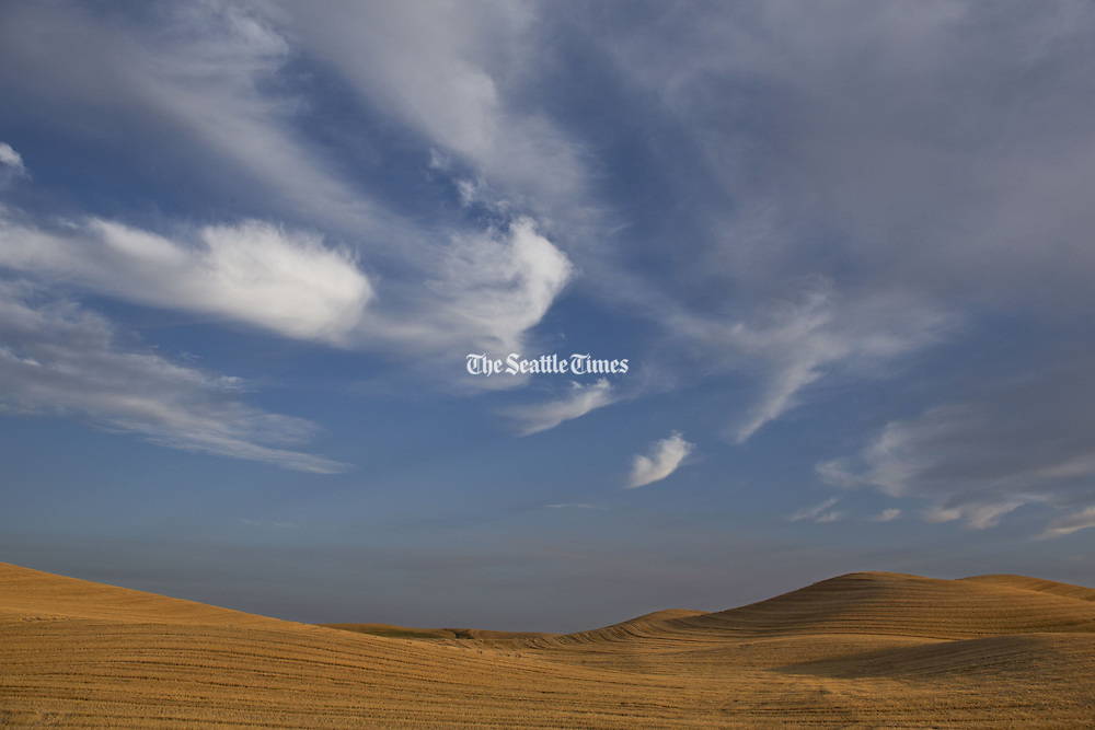 The wheat fields of the Palouse turn golden in the late evening sun. (Dean Rutz / The Seattle Times)