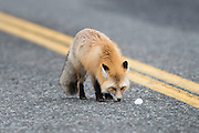Red Fox (Vulpes vulpes) on a highway, Yellowstone National Park, Wyoming