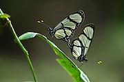 Grand Amberwing (Methona grandior)<br /> Mindo<br /> Cloud Forest<br /> West slope of Andes<br /> ECUADOR.  South America