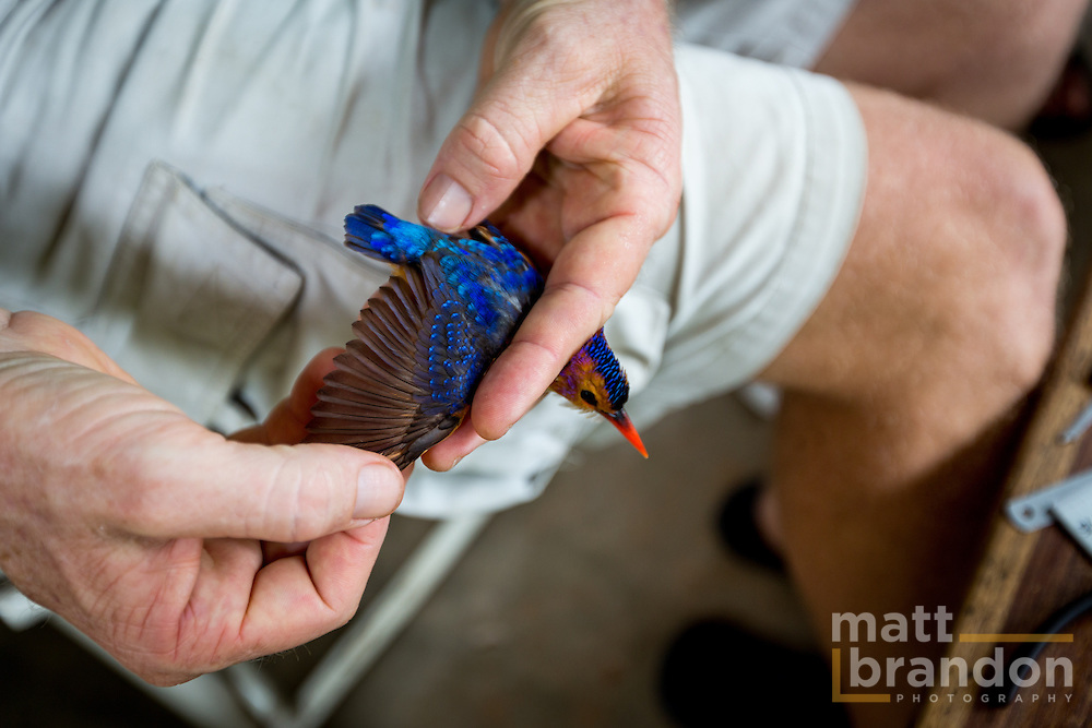 Colin Jackson inspects the wing of a Pygmy Kingfisher.
