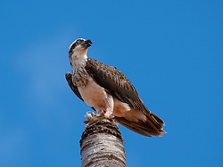An osprey eats a freshly caught fish on top of a dead palm tree in Dampier Terrace, Broome.  The osprey is a resident, and fishes in Dampier Creek, hovering over the mangroves.