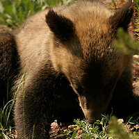 Grizzly Cub<br /> Yellowstone National Park<br /> Wyoming