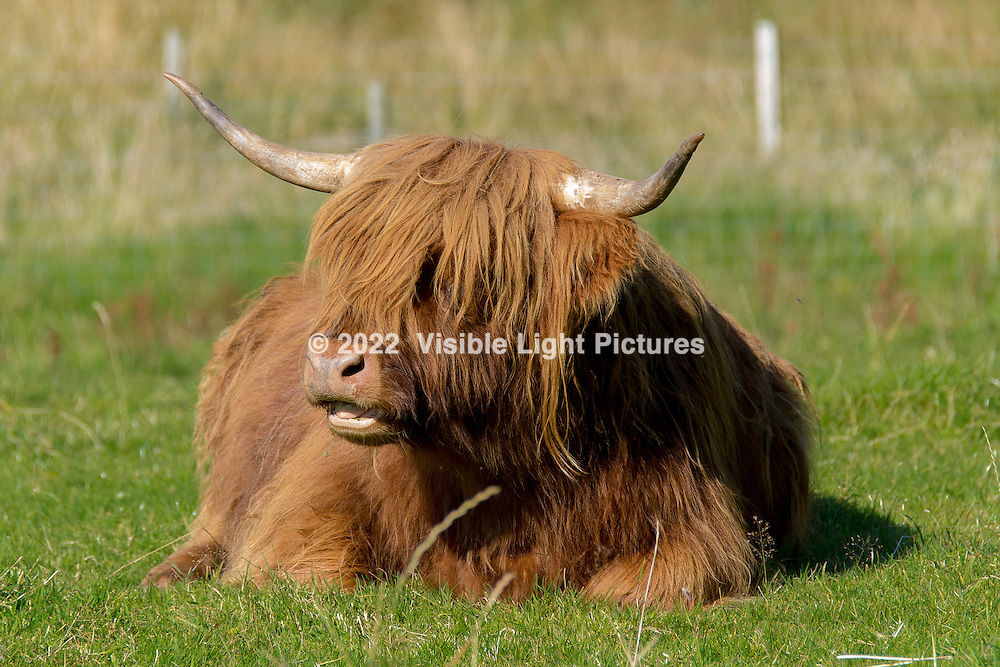 Susan managed to not get gored when she took this excellent photo of a Scottish Highland cow on the farm behind the Inverlochy Castle Hotel.  Actually, they are very docile.  Farmers lease the land behind the hotel and raise the cows and sheep.  So bucolic!