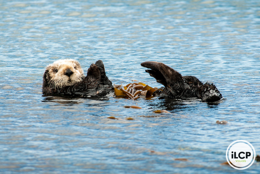 USA: California, Morro Bay, sea otter ((Enhydra lutris)), an endangered sea mammal) with kelp (sea weed)