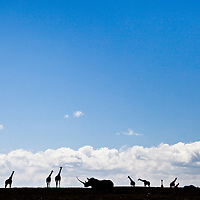 Black and white rhinos gather with giraffe on the skyline in Solio, Kenya