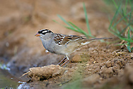 White-crowned Sparrow (Zonotrichia leucophrys) - adult<br /> TEXAS: Hidalgo Co.<br /> Las Colmenas Ranch<br /> 14-March-2006<br /> J.C. Abbott #2248