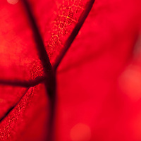 Macro detail of a maple leaf changing to fall colors.