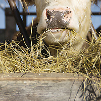 """The Morgen's always grow their own hay and never buy it. The cows are raised until they are 25 to 35 months old compared to traditional cows which are only kept till they are 12 to 14 months. """" So, double the time. That's the slow (food) part,"""" said Tod."""