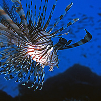 Lionfish in the Blue